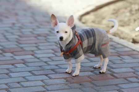 לכלבים קטנים כדאי להלביש במהלך הטיול מעיל או סריג חם. צילום: thinkstock