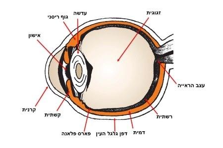 המבנה האנטומי של העין